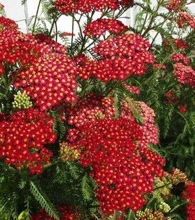 Paprika Achillea millefolium