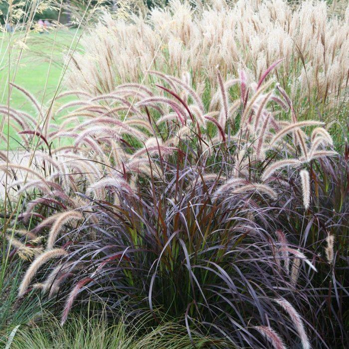 Rozplenica Rubrum Trawa purpurowa.jpg