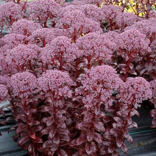 rozchodnik-karpacki-dark-magic-sedum-telephium