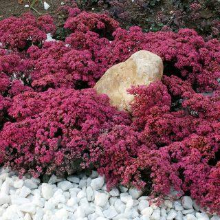 Rozchodnik Sunsparkler Dazzleberry