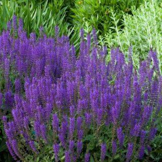 Szałwia Night Field Salvia