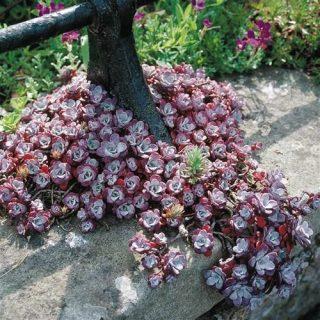 rozchodnik purpureum