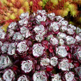 sedum-spathulifolium-purpureum_6