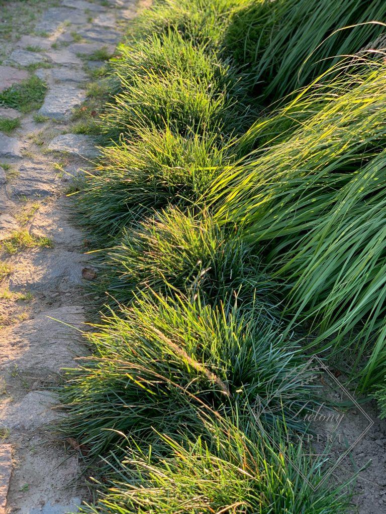 Trawy ozdobne odporne na suszę