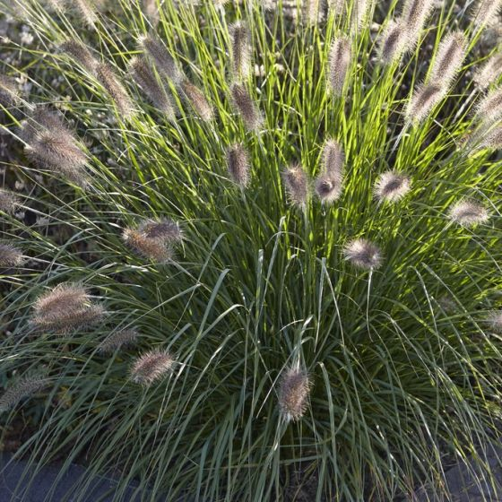 Rozplenica japońska Reborn Pennisetum