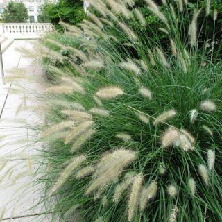 rozplenica japońska cassian pennisetum