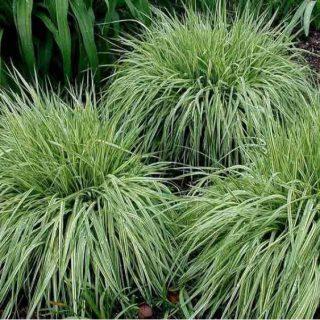trzęślica modra trawa
