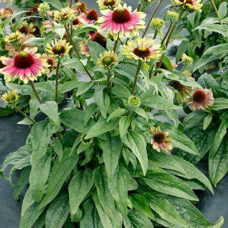 Echinacea-Sweet-Sandia