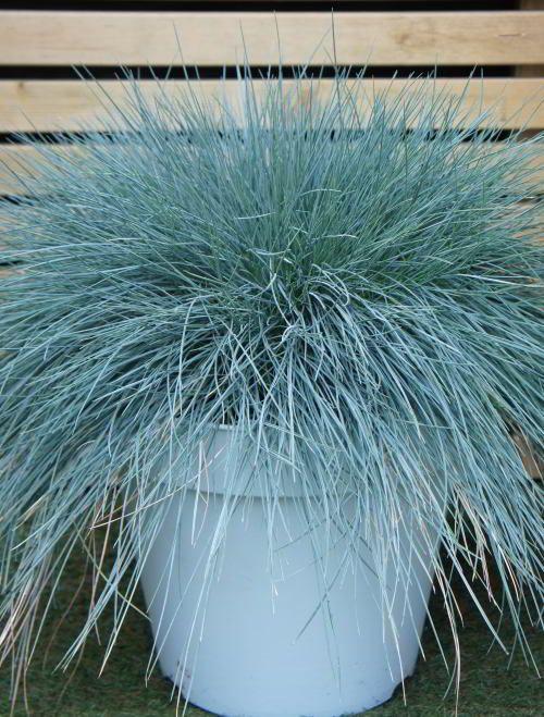 kostrzewa niebieska trawa
