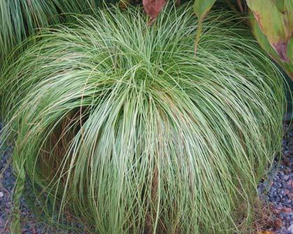 Turzyca Carex Frosted Curls