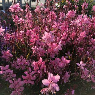 gaura pink compact