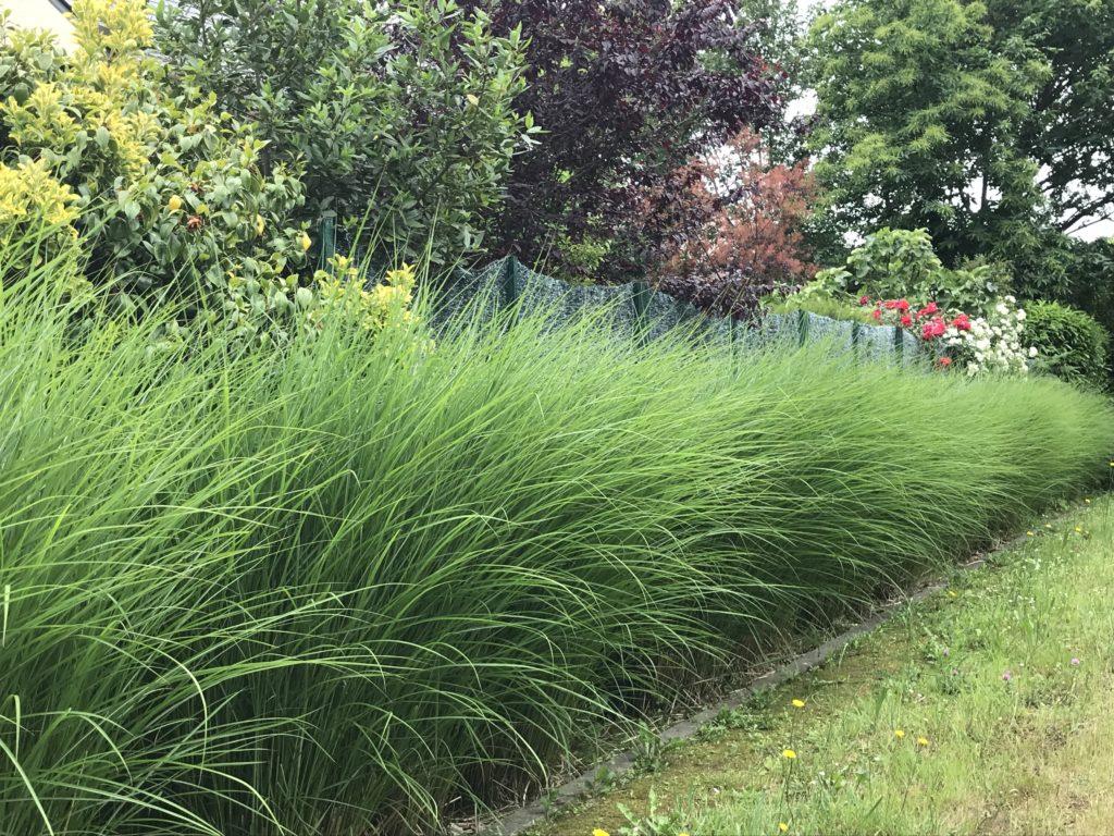 trawy na żywopłot