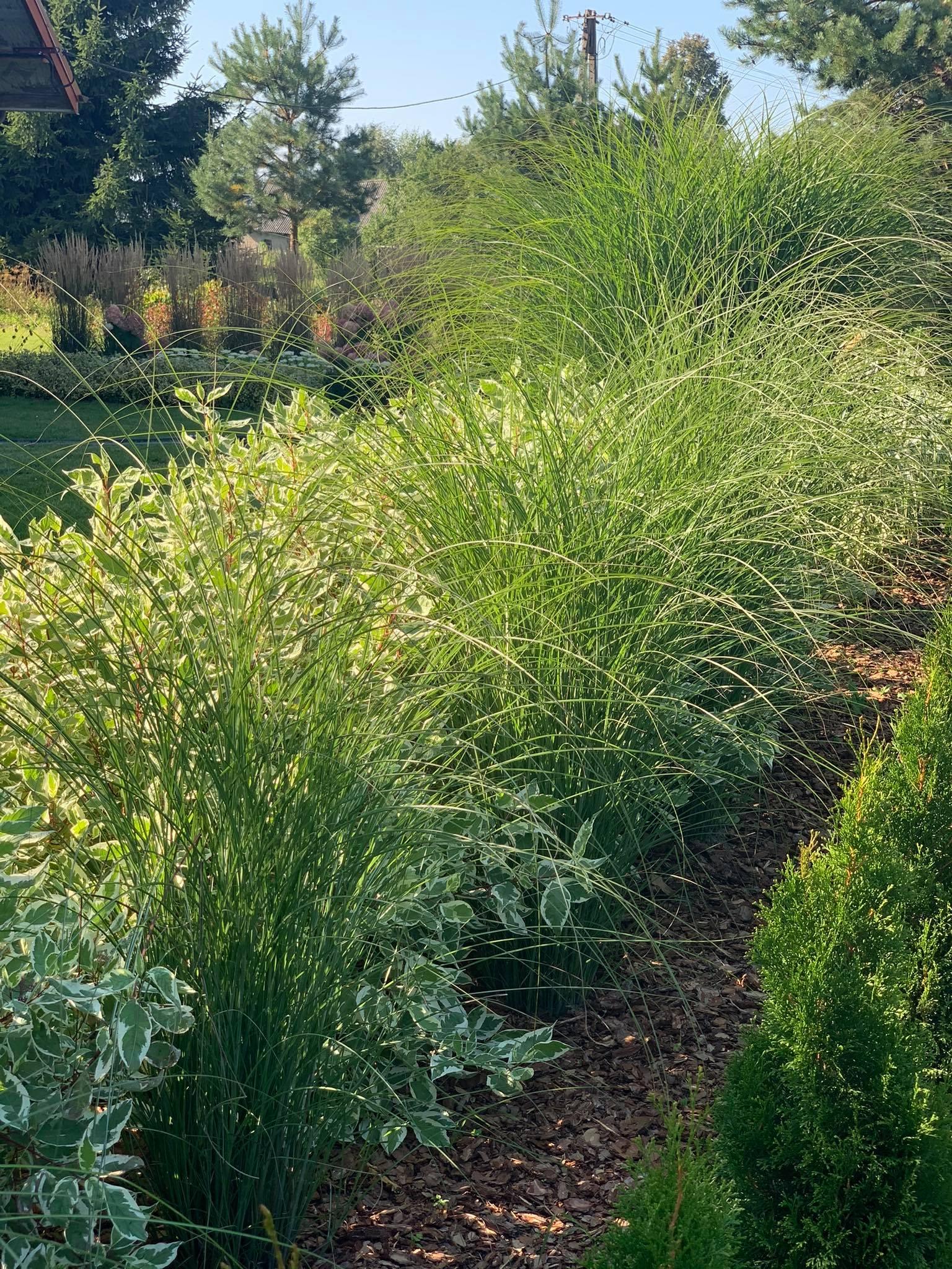10 najpiękniejszych traw do ogrodu