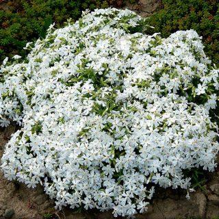 Floks szydlasty Spring White